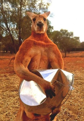 Kangaroo looks like is about to put someone's lights out