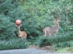 sports deer
