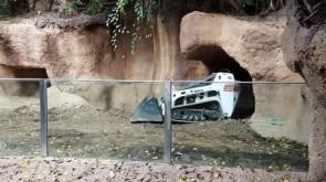 Bobcat Enclosure