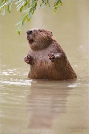 wet beaver
