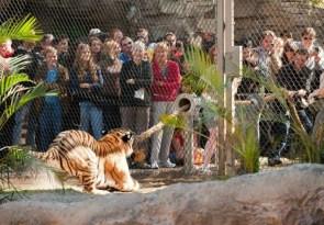 Tiger Tug