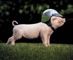 Safe Pig