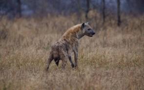 hyana