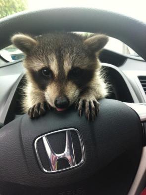 baby raccoon driver