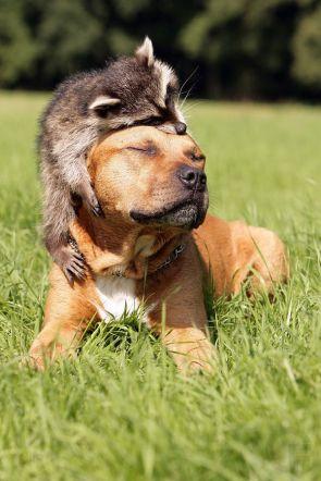 raccoon loves dog