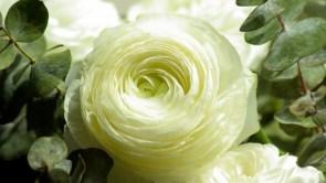 White Persian Buttercup