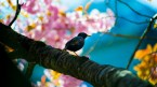 bird in cherry tree