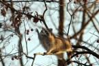 raccoon reach