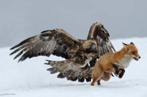 Hawk vs Fox