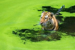 Tiger in green water
