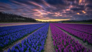 fields of blue and purple