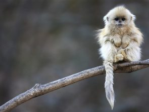 Furry Monkey