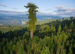 One Giant Tree