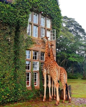 giraffe window