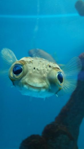 happy puffer fish