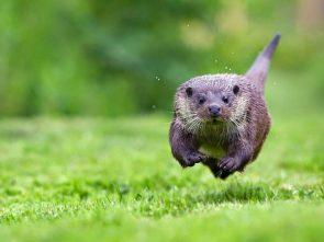 Flying Otter