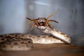 Spider-Snake