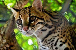glassey eyed cat