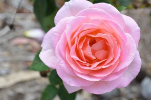 A Pink Rose.jpg