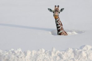 Snow giraffee