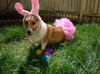 Corgie Easter Bunny
