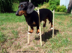 Dachshund on stilts