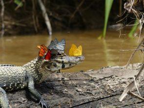 Butterfly Gator