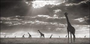 Giraffes in the wind