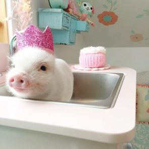 piglet in sink