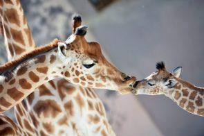 Giraffe Kissy