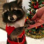 Christmas Raccoon