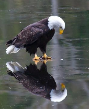 Contemplative Eagle