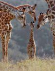 Giraffee Family