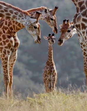 Giraffee Family