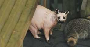Hairless Raccoon
