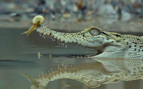 Crocodile Hood Ornament