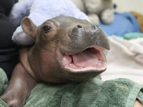 Fiona – the baby hippo at the Cincinnati Zoo