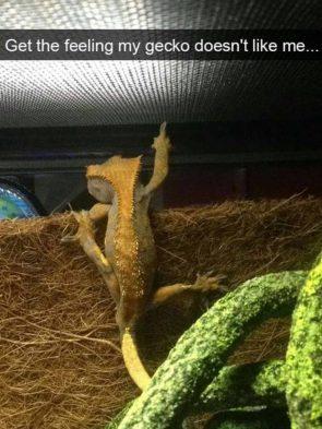 gecko doesn't like me