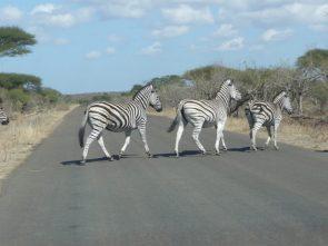 Zebra roaming Kruger National Park in 2008