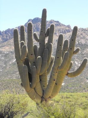 500 years old cacti