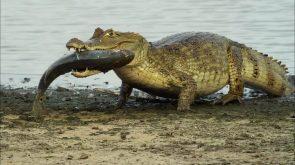 croc with fish