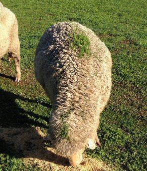 grassey sheep