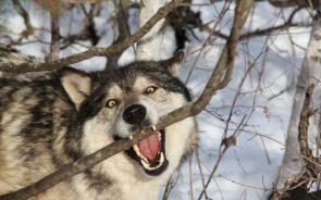 wolf branch bite