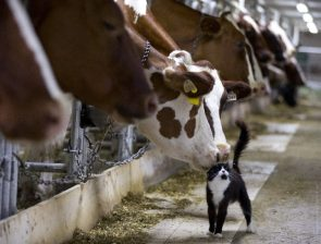 Cows and Cats are friends