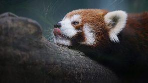 licking red panda