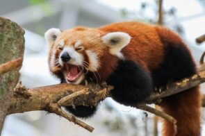 screaming red panda