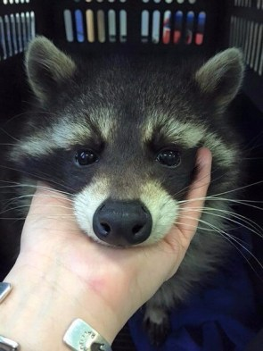 Raccoon Cuddles