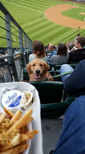 Happy Golden at the Ball Game