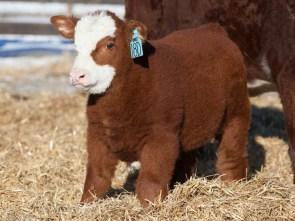 baby fluffy cow.jpg