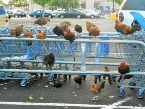 chicken carts.jpg